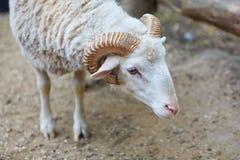 C?l?bre pour leurs moutons de laine - B?lier d'ammon d'Ovis photographie stock libre de droits