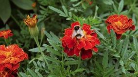 C?mara lenta El primer grande de la flor con grande manosea la polinizaci?n de la abeja almacen de metraje de vídeo