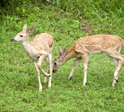 C'mon Bambi. Whitetail fawns ready to run away from a photo royalty free stock photography