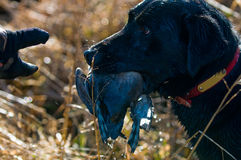 C\'mon, give me the duck. A hunting dog waits to hand over a duck he retrieved Royalty Free Stock Photography