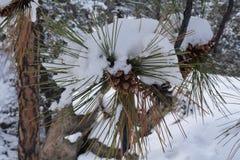 Cône/branche de pin dans la neige 2016 Photos stock