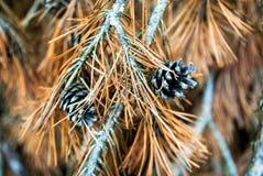 Cône d'arbre de sapin Image stock