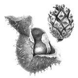 Cône de châtaigne et de pin Images libres de droits