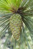 Cône de pin de Longleaf Image stock