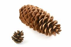 Cône de pin de sucre et cône de pin de lodgepole Photos libres de droits