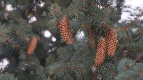 Cône de pin en nature de paysage d'hiver d'arbre de Noël d'arbre banque de vidéos