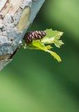 Cône de pin, feuilles d'un arbre photographie stock