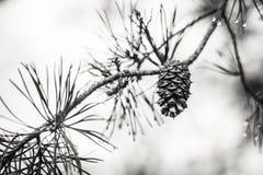 Cône de pin sur une branche avec des gouttelettes d'eau Images stock
