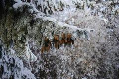 Cône et neige de pin Images libres de droits