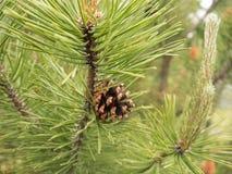 Cône mûr de pin sur la branche verte Photo libre de droits