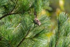 Cône oriental de pin blanc Images libres de droits