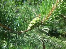 Cône vert de pin sur une branche Photographie stock