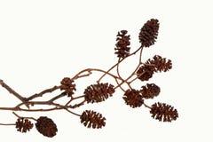 Cônes d'arbre d'aulne Images stock