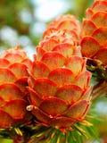 Cônes d'arbre de mélèze Image libre de droits