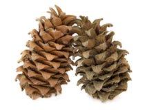 Cônes d'un cèdre mandchou (pin coréen) Photographie stock libre de droits