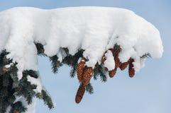 Cônes dans la neige Photos stock