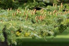 Cônes de Deodar, arbre de cèdre de l'Himalaya s'élevant à Adelaïde, sud images libres de droits