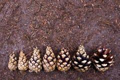 Cônes de pin alignés dans l'ordre croissant Image stock