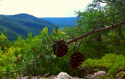 Cônes de pin avec une vue Images libres de droits