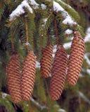 Cônes de pin dans la neige Photographie stock libre de droits