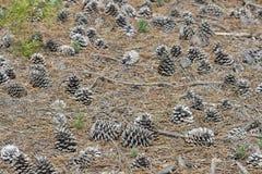 Cônes de pin de forêt dans des environs naturels Images libres de droits