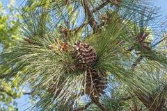 Cônes de pin de Longleaf Image stock