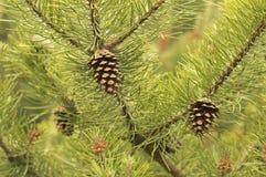 Cônes de pin en été Image stock