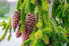 Cônes de pin fleurissant en premier ressort Photos stock