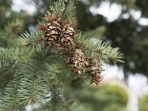 Cônes de pin se reposant sur le pin Détail d'arbre avec une aiguille Photos libres de droits