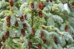 Cônes de pin sur l'arbre Photographie stock