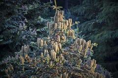 Cônes de pin sur l'image impeccable d'arbre Image stock