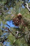 Cônes de pin sur un pin Images libres de droits