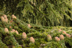 Cônes et aiguilles coréens d'arbre de sapin Photo libre de droits