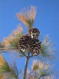 Cônes et aiguilles de pin contre un ciel bleu lumineux image libre de droits