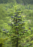 Cônes noirs de l'arbre de sapin de baume, Mt Sunapee, New Hampshire Photo stock