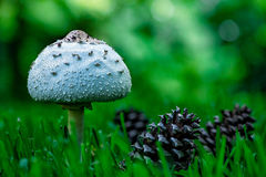 Cônes sauvages de champignon et de pin Image libre de droits