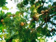 Cônes sur les branches vertes de cyprès Photo libre de droits