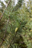 Cônes verts du bedikah de pin arbre, pinecone, nature Images libres de droits