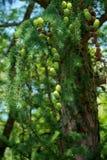 Cônes verts frais Photo stock