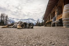 C?o que dorme na estrada da montanha montanhas Neve-tampadas no fundo imagens de stock