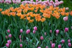C?sped de tulipanes coloridos en el parque de la primavera imágenes de archivo libres de regalías