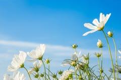 C sulphureus Cav eller svavelkosmos, blomma och blå himmel arkivbild