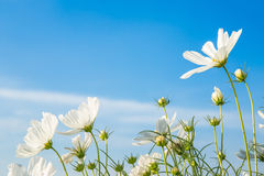 C.sulphureus Cav. or Sulfur Cosmos, flower and blue sky Stock Photography