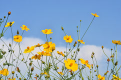 C.sulphureus Cav. or Sulfur Cosmos. Yellow Cosmos flower royalty free stock images