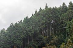 Côté de colline de montagne de bâche de forêt d'arbres de cèdre en automne Photos libres de droits