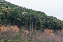 Côté de colline de montagne de bâche de forêt d'arbres de cèdre en automne Photographie stock