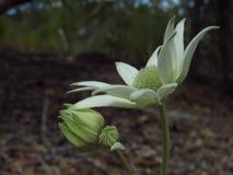 Côté de fleur de flanelle dessus photographie stock