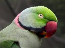 Côté-portrait d'oiseau anneau-étranglé vert de perruche Photos libres de droits