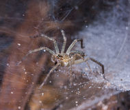 Côté supérieur de Tan Spider sur la toile d'araignée Photo libre de droits