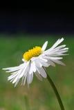Côté-vue d'une belle marguerite des prés blanche Images stock